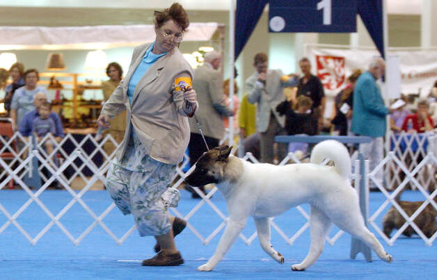 Handler Stephanie Cottrell shows off Luke, an Akita, at the River City Cluster of Dog Shows on July 10, 2003 at the Convention Center. Photo: Kin Man Hui, San Antonio Express-News / SAN ANTONIO EXPRESS-NEWS