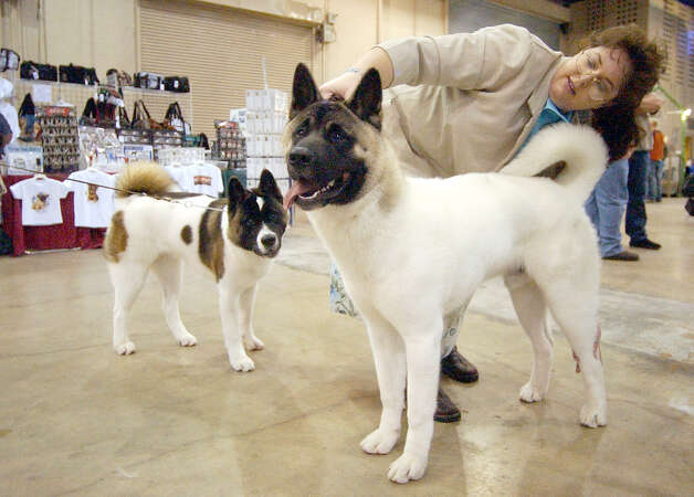 Handler Stephanie Cottrell prepares Luke, an Akita, for show as Luke's sibling, Fantazia, looks on at the River City Cluster of Dog Shows on July 10, 2003 at the Convention Center. Photo: Kin Man Hui, San Antonio Express-News / SAN ANTONIO EXPRESS-NEWS