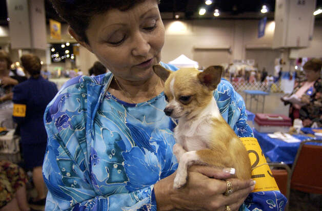 Jonelle Scurto holds Rocky, her purebred smooth-coat Chihuahua, at the River City Cluster of Dog Shows on July 7, 2004 at the Convention Center. Scurto breeds chihuahuas in Seguin. Photo: John Davenport, San Antonio Express-News / SAN ANTONIO EXPRESS-NEWS