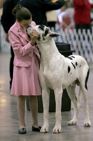 Cyneen Tye, 11, of San Marcos waits to show Lex the Great Dane during competition at the River City Cluster of Dog Shows on July 14, 2005 at the Convention Center. Photo: William Luther, San Antonio Express-News / SAN ANTONIO EXPRESS-NEWS