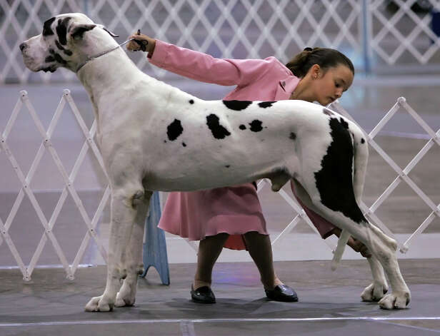 Cyneen Tye, 11, of San Marcos shows Lex the Great Dane during competition at the River City Cluster of Dog Shows on July 14, 2005 at the Convention Center. Photo: William Luther, San Antonio Express-News / SAN ANTONIO EXPRESS-NEWS