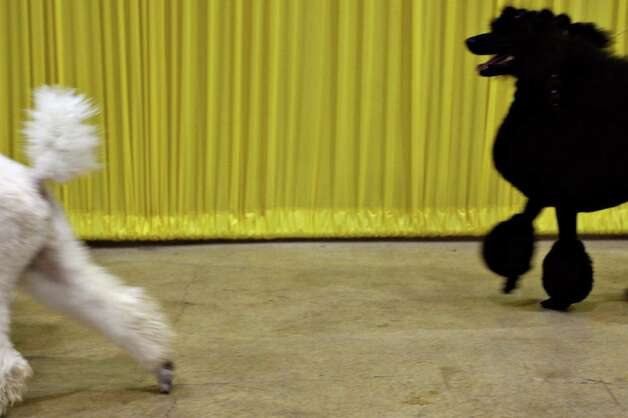 Standard Poodles strut their stuff at the River City Cluster of Dog Shows on July 16, 2005 at the Convention Center. Photo: San Antonio Express-News File Photo / SAN ANTONIO EXPRESS-NEWS