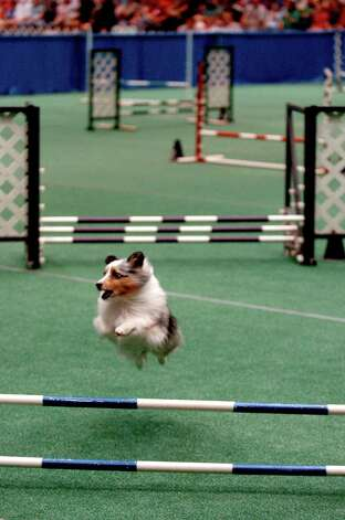 Dash, a Shetland Sheepdog, completes the final jump of a jumping and weaving course at the River City Cluster of Dog Shows on July 17, 2005 at the Convention Center. Photo: San Antonio Express-News File Photo / SAN ANTONIO EXPRESS-NEWS