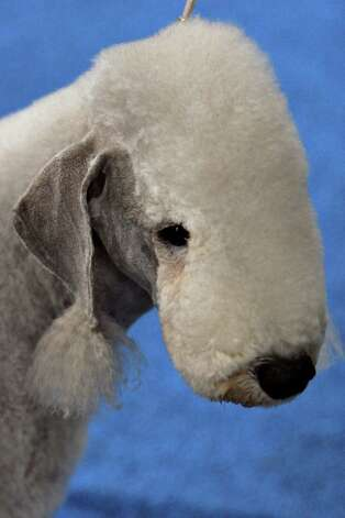 A Bedlington Terrier waits to compete at the River City Cluster of Dog Shows on July 16, 2005 at the Convention Center. Photo: San Antonio Express-News File Photo / SAN ANTONIO EXPRESS-NEWS