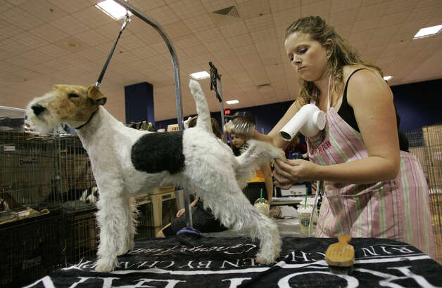 Handler Amanda Clevenger gets creative in the task of drying and and grooming Zoe, a Wire Fox Terrier, at the River City Cluster of Dog Shows on July 26, 2006 at the Convention Center. Photo: Kin Man Hui, San Antonio Express-News / © San Antonio Express-News