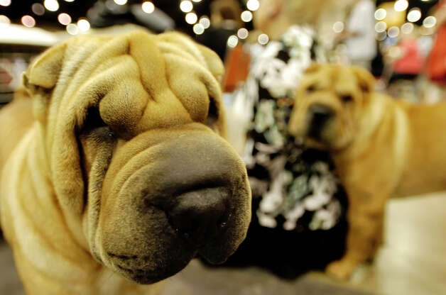 "Patricia Johnson of Houston, a breeder and owner of Sharpei dogs, sits next to Sheezit and Fuller Sharpei, at the River City Cluster of Dog Shows on July 30, 2006 at the Convention Center. ""They're very intelligent and loyal,"" Johnson said of the breed. Photo: San Antonio Express-News File Photo / SAN ANTONIO EXPRESS-NEWS"
