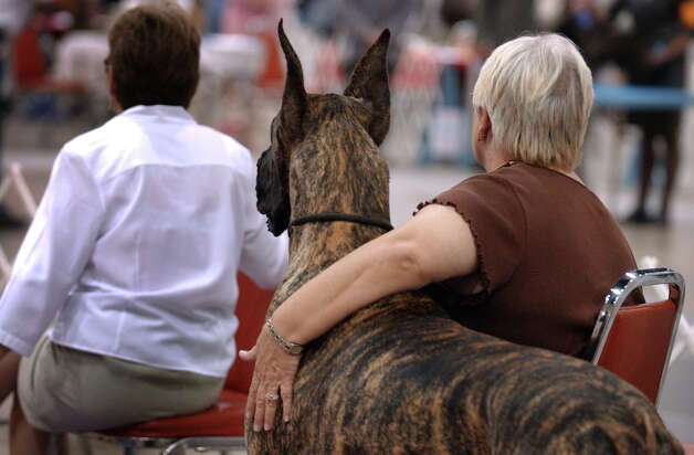 Sue Fordtran takes care of  Ray, a brindle-colored Great Dane, at the River City Cluster of Dog Shows on July 27, 2006 at the Convention Center. Fortran was caring for Ray while his owner was in the ring showing other Great Danes. Photo: GLORIA FERNIZ, San Antonio Express-News File Photo / © San Antonio Express-News