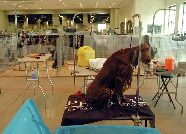 A wet Irish Setter waits to be dried while getting ready at the River City Cluster of Dog Shows on July 25, 2006 at the Convention Center. Photo: Billy Calzada, San Antonio Express-News / SAN ANTONIO EXPRESS-NEWS