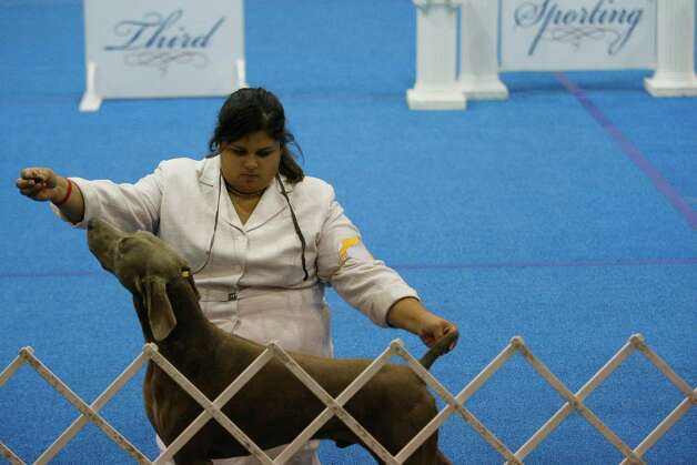 Alex Romero of Dallas prepares her dog Papa, a Weimaraner, to show in the sporting dog category at the River City Cluster of Dog Shows on July 11, 2007 at the Convention Center. Photo: San Antonio Express-News File Photo / SAN ANTONIO EXPRESS NEWS