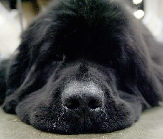 Sam, a Newfoundland, waits his turn at the River City Cluster of Dog Shows on July 14, 2007 at the Convention Center. Photo: San Antonio Express-News File Photo / SAN ANTONIO EXPRESS-NEWS
