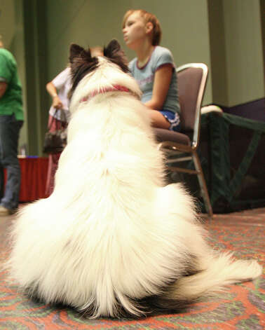 Larkin Norris of Dallas waits her turn with Cloud the Shetland Sheepdog during the jumpers and weaving competition at the River City Cluster of Dog Shows on July 14, 2007 at the Convention Center. Photo: San Antonio Express-News File Photo / SAN ANTONIO EXPRESS-NEWS