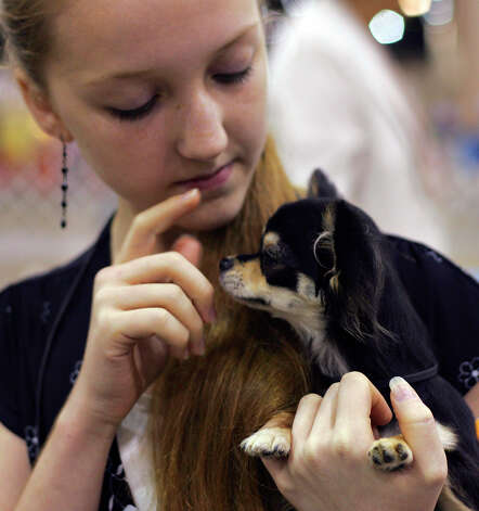 Kirsten Potts, 12, puts her fingers up to touch the nose of her dog, Raven, before they compete at the River City Cluster of Dog Shows on July 13, 2007 at the Convention Center. Potts got second place next to her father, who was also showing a long-coat Chihuahua and placed first. Photo: San Antonio Express-News File Photo