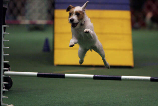 Spyke, a Parson Russell Terrier, flies through the agility course at the River City Cluster of Dog Shows on July 15, 2007 at the Convention Center. Spyke was there with his owner, Jenny Cuccinello. Photo: John Davenport, San Antonio Express-News / SAN ANTONIO EXPRESS-NEWS