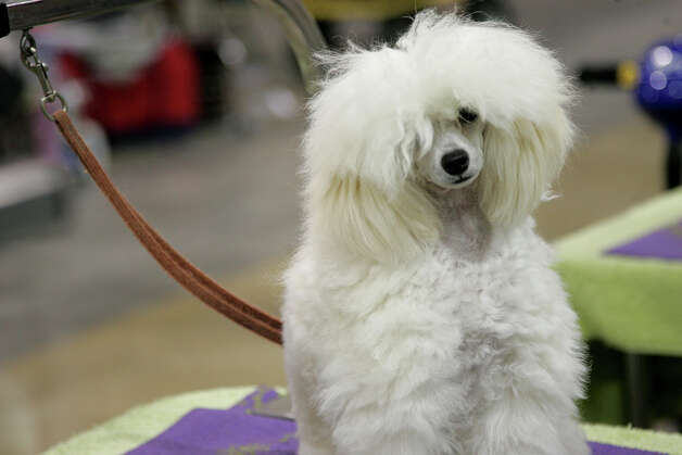 Tiffy, a Toy Poodle, waits to be groomed by Jessie Burrow at the River City Cluster of Dog Shows on July 13, 2008 at the Convention Center. Photo: San Antonio Express-News File Photo / © San Antonio Express-News