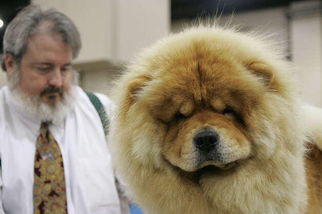 Jonathan Elledge grooms Lanzui, a Chow, at the River City Cluster of Dog Shows on July 13, 2008 at the Convention Center. Photo: San Antonio Express-News File Photo / © San Antonio Express-News