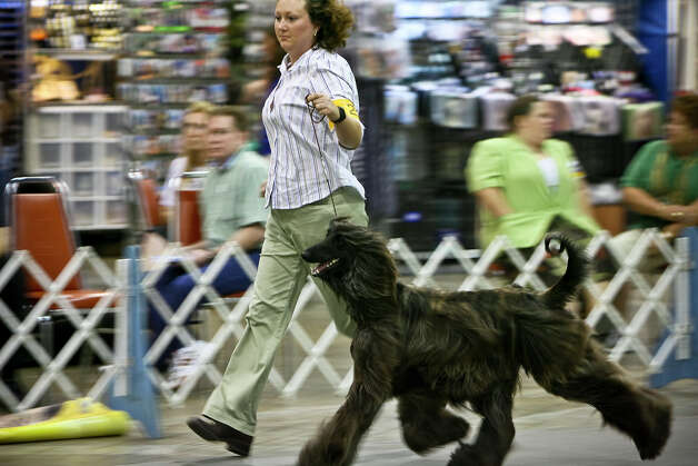 Jennifer A. Brown of Cibolo shows her Afghan Hound, Mozart, at the River City Cluster of Dog Shows on July 11, 2008 at the Convention Center. Photo: San Antonio Express-News File Photo / msobhani@express-news.net