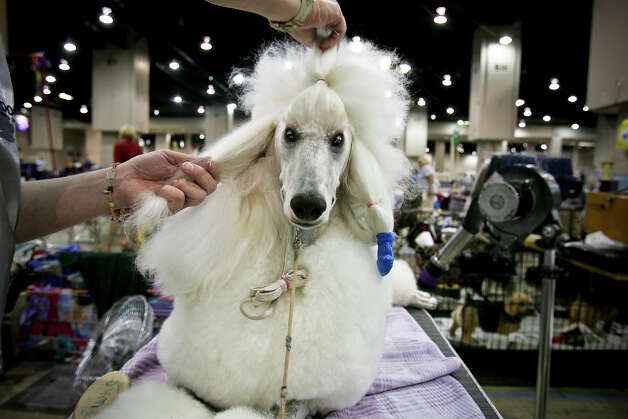 Bodie, a Standard Poodle, is groomed by Holly Corbett after being shown at the River City Cluster of Dog Shows on July 11, 2008 at the Convention Center. The dog will have hairspray washed off, ears wrapped and other attention, before starting again the next day with the same routine. Photo: San Antonio Express-News File Photo / msobhani@express-news.net