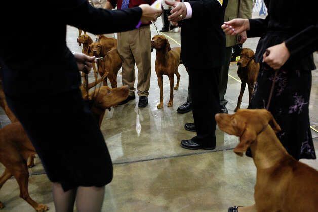 Vizslas wait to compete for Best of Breed at the River City Cluster of Dog Shows on July 9, 2008 at the Convention Center. Photo: Lisa Krantz, San Antonio Express-News / lkrantz@express-news.net