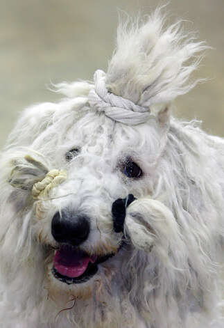 Evie, a Komondor, poses for a portrait at the River City Cluster of Dog Shows on July 10, 2009 at the Convention Center. Evie is owned by Chris Painter. Photo: Edward A. Ornelas, San Antonio Express-News / eaornelas@express-news.net