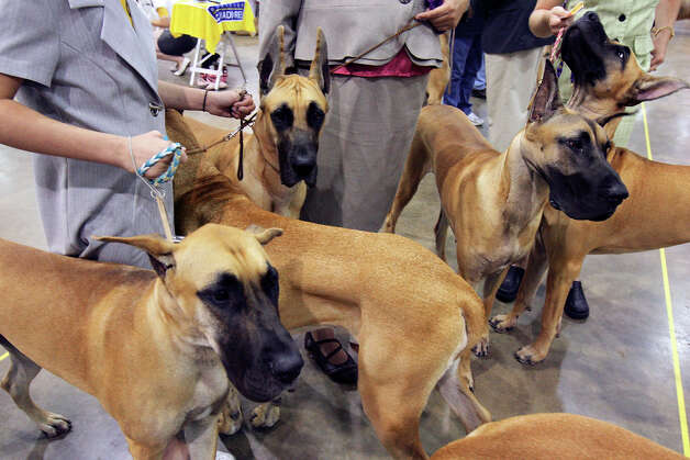 Great Danes wait to be shown at the River City Cluster of Dog Shows on July 10, 2009 at the Convention Center. Photo: Edward A. Ornelas, San Antonio Express-News / eaornelas@express-news.net