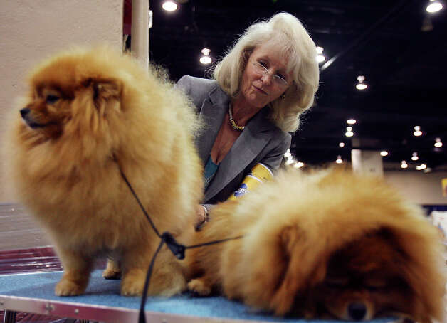 Owner/handler Nannette Walker brushes Cherie and Chucky the Pomeranians at the River City Cluster of Dog Shows on July 11, 2009 at the Convention Center. Photo: Edward A. Ornelas, San Antonio Express-News / eaornelas@express-news.net