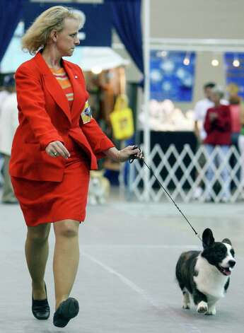 Handler Lois Demers shows Dickens, a Cardigan Welsh Corgi, at the River City Cluster of Dog Shows on July 11, 2009 at the Convention Center. Photo: Edward A. Ornelas, San Antonio Express-News / eaornelas@express-news.net