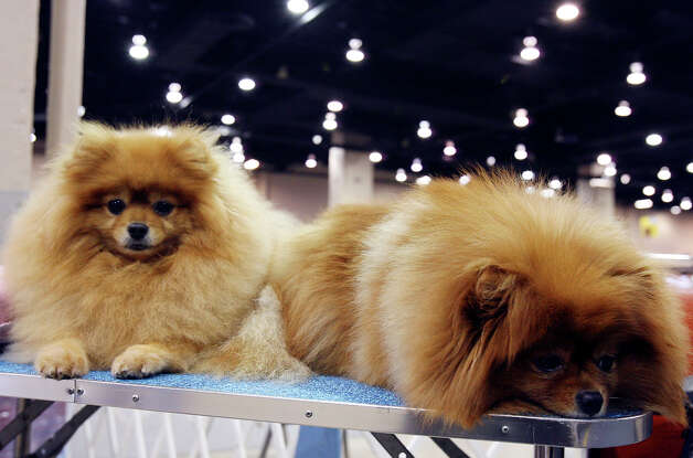 Nannette Walker's Pomeranians Cherie and Chucky relax at the River City Cluster of Dog Shows on July 11, 2009 at the Convention Center. Photo: Edward A. Ornelas, San Antonio Express-News / eaornelas@express-news.net