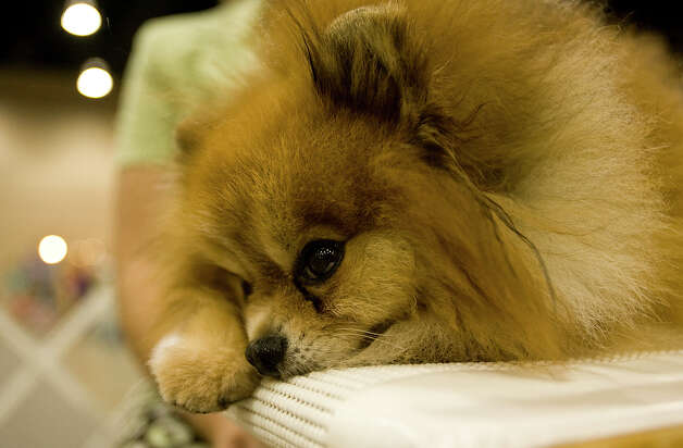 Gizmo, a Pomeranian, rests at the River City Cluster of Dog Shows on June 17, 2010 at the Convention Center. Photo: San Antonio Express-News File Photo / iaguirre@express-news.net