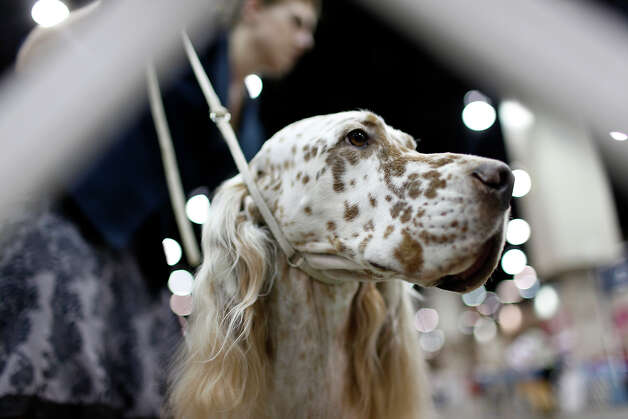 A dog waits to be judged at the River City Cluster of Dog Shows on June 17, 2010 at the Convention Center. Photo: San Antonio Express-News File Photo / iaguirre@express-news.net