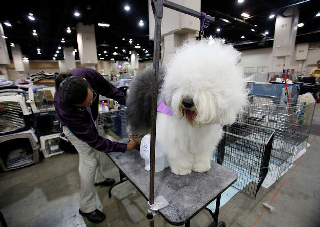 Checker, an Old English Sheepdog, gets trimmed at the River City Cluster of Dog Shows on June 17, 2010 at the Convention Center. Photo: San Antonio Express-News File Photo / iaguirre@express-news.net