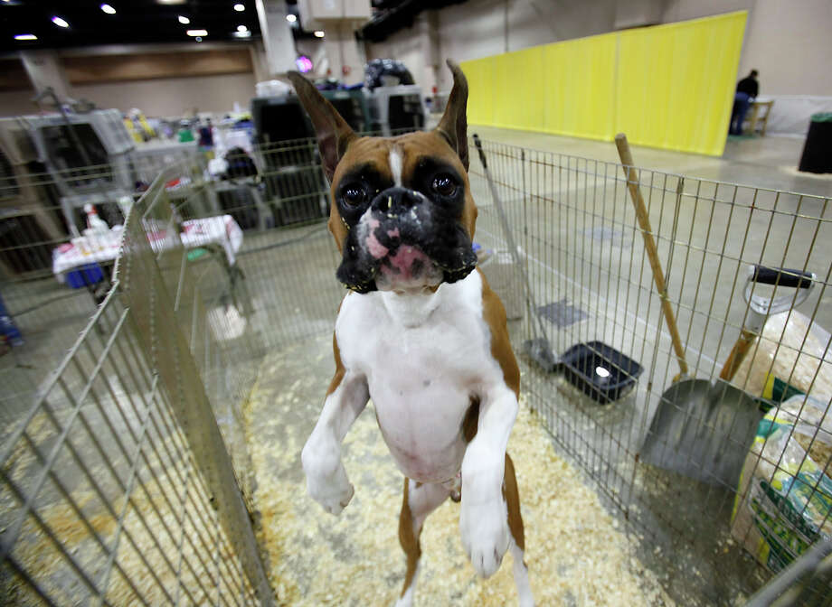 Get excited! The River City Cluster of Dog Shows is back at Freeman Expo Hall, starting today through Sunday. Here's a look back at past shows:Jag, a Boxer, plays in his kennel at the River City Cluster of Dog Shows on June 17, 2010 at the Convention Center. Photo: San Antonio Express-News File Photo / iaguirre@express-news.net