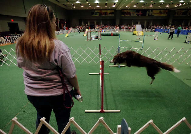 Alicia Rogers watches Border Collie Nate warm up before the dog agility competition at the River City Cluster of Dog Shows on June 18, 2010 at the Convention Center. Photo: Kin Man Hui, San Antonio Express-News / San Antonio Express-News