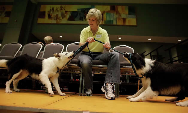 Shannon Grimes plays tug with her Border Collies Rocky and Star while waiting for Star's turn to compete in the dog agility competition at the River City Cluster of Dog Shows on June 18, 2010 at the Convention Center. Photo: Kin Man Hui, San Antonio Express-News / San Antonio Express-News