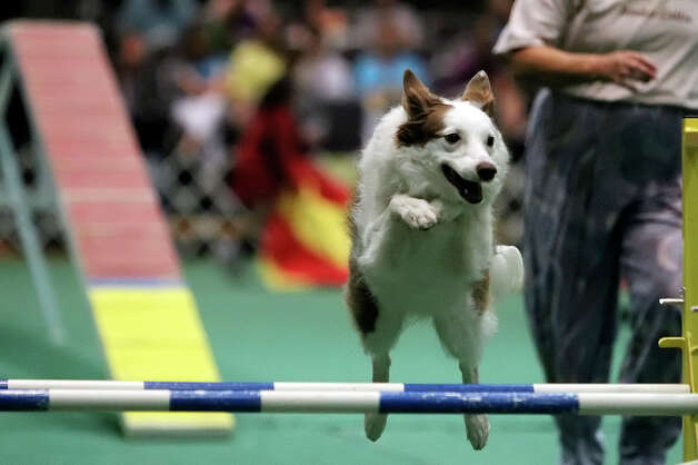 Border Collie Skeeter clears the last hurdle during the dog agility competition at the River City Cluster of Dog Shows on June 18, 2010 at the Convention Center. Photo: Kin Man Hui, San Antonio Express-News / San Antonio Express-News