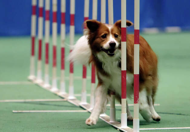 Border Collie Perci winds his way through the weave obstacle during the dog agility competition at the River City Cluster of Dog Shows on June 18, 2010 at the Convention Center. Photo: Kin Man Hui, San Antonio Express-News / San Antonio Express-News
