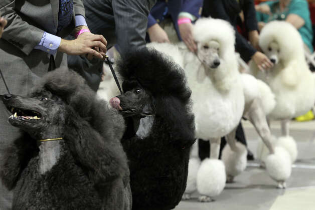 Standard Poodles are lined up during a competition at the River City Cluster of Dog Shows on July 14, 2011 at the Freeman Exposition Hall. Photo: JOHN DAVENPORT, San Antonio Express-News / SAN ANTONIO EXPRESS-NEWS (Photo can be sold to the public)