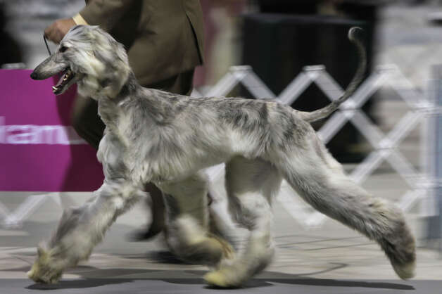 Handler Chris Hallock trots with an Afghan Hound at the River City Cluster of Dog Shows on July 14, 2011 at the Freeman Exposition Hall. Photo: John Davenport, San Antonio Express-News