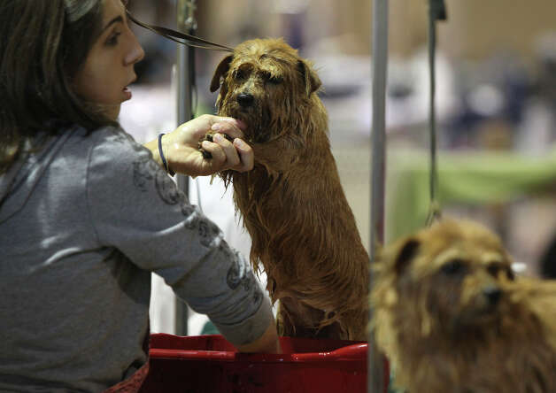Handler Sabrina Rudle of Wisconsin gives a bath to Apple, a Norfolk Terrier, at the River City Cluster of Dog Shows on July 17, 2011 at the Freeman Exposition Hall. The dogs are owned by Barbara Miller and Susan Kipp. Photo: John Davenport, San Antonio Express-News