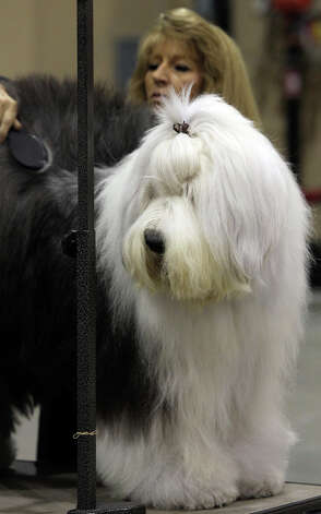 Sharon Tapscott of Houston grooms Sweet, an Old English Sheepdog, at the River City Cluster of Dog Shows on July 17, 2011 at the Freeman Exposition Hall. The dog is owned by Tapscott's daughter, Amy Pope. Photo: John Davenport, San Antonio Express-News