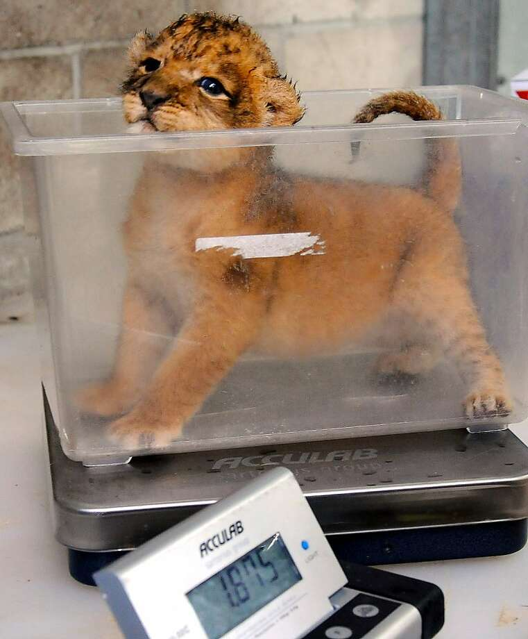And remember to burp the lid:Before storing a baby lion in Tupperware, it's prudent to weigh the cub. (This 11-day-old female appears to be healthy and strong despite the fact that her mother is not nursing her adequately at the Jacksonville [Fla.] Zoo.) Photo: Bob Mack, Associated Press