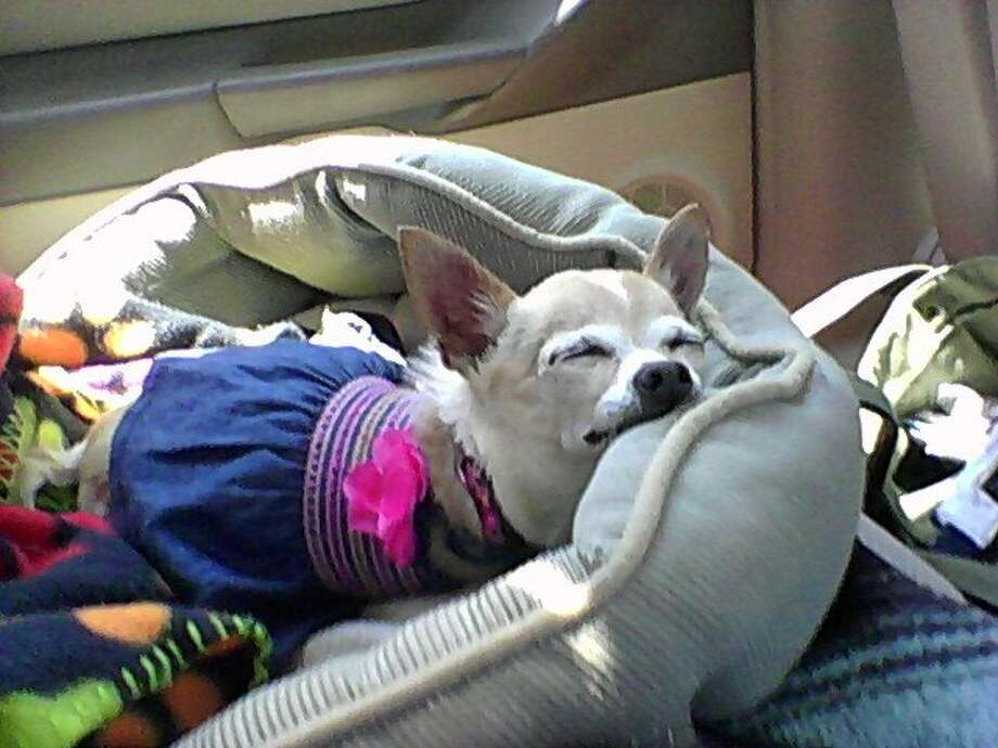 Tippi Ann, chihuahua that lives with Margie Cruz of Houston. for pets page Photo: Margie Cruz