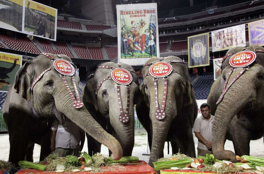 The endangered Asian Elephants, the stars of Ringling Bros. and  Barnum & Bailey Circus, eat brunch at Reliant Stadium on Wednesday, July 11, 2012, in Houston.  The Ringling Bros. and Barnum & Bailey Circus opens Thursday night at 7:30 p.m. inside Reliant Stadium. Photo: Mayra Beltran, Houston Chronicle / © 2012 Houston Chronicle