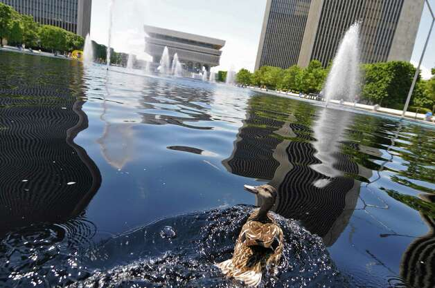 A duck moves away from an approaching camera in the fountains of the Empire State Plaza on Wednesday  July 11, 2012 in Albany, NY. (Philip Kamrass / Times Union) Photo: Philip Kamrass