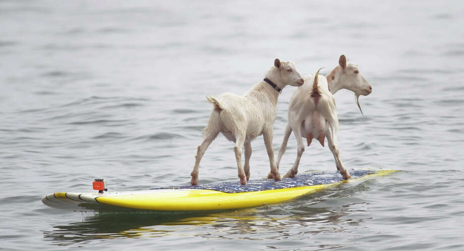 Dana NcGregor's pet goats Pismo, left, and Goatee surf at San Onofre State Beach, Calif., on Wednesday July 11, 2012. McGregor started taking Pismo's mother Goatee to the beach, and it wasn't long before she was on a surfboard. When Pismo was born, McGregor put her on a board too, and she was a natural, he says. (AP Photo/The Orange County Register, Ron Veal)  MAGS OUT; LOS ANGELES TIMES OUT;TV OUT: MANDATORY CREDIT Photo: ROD VEAL,, Associated Press / The Orange County Register
