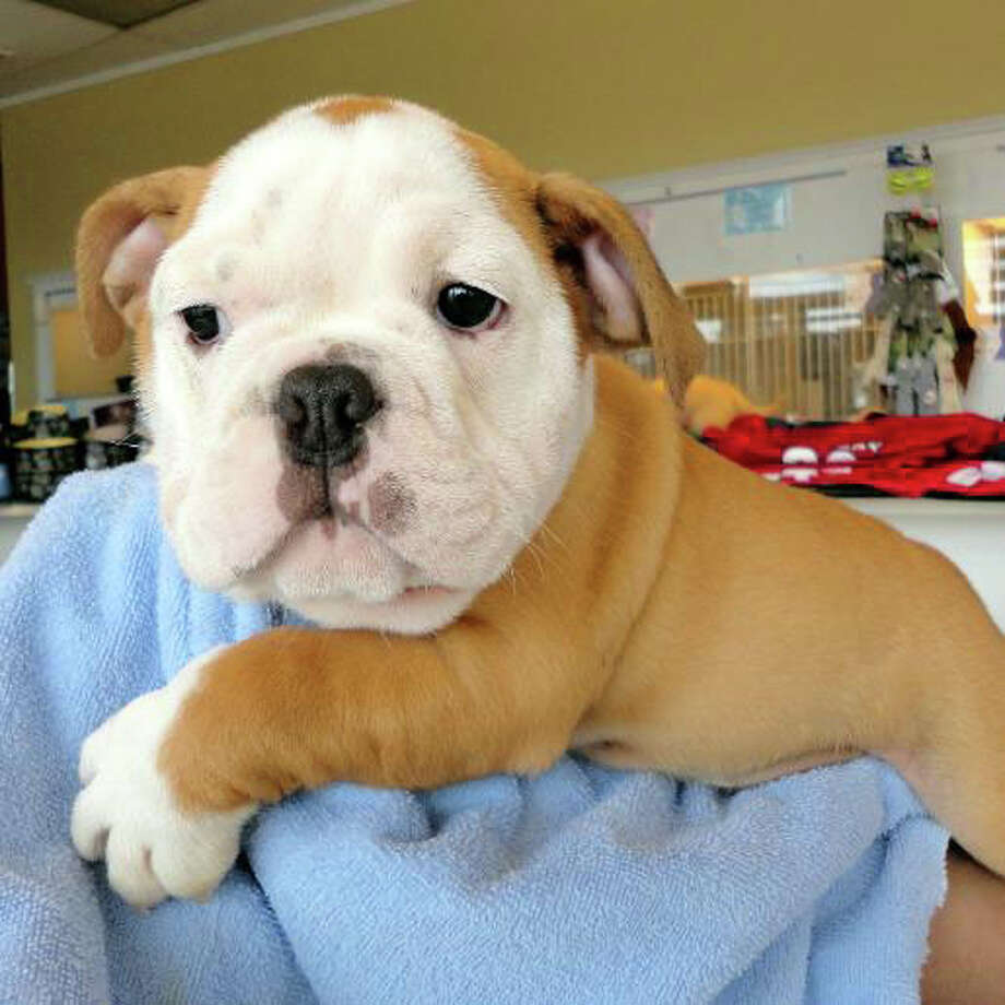 A bulldog puppy worth $3,700 was taken from a Norwalk, Conn. pet store on Monday, July 9, 2012 by a man who tried to use a fake credit card, the store's owner said. Photo: Contributed