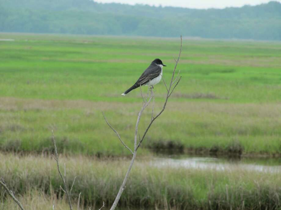 Photo by Herb Terns A kingbird surveys the saltmarsh at Parker River National Wildlife Refuge.JPG Photo: Picasa