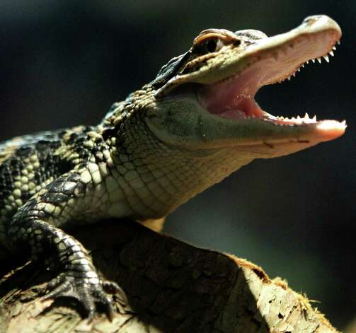 "A swamp alligator shows its teeth as it climbs out of water at a Louisiana swamp scene at Chelsea Market on Thursday, Feb. 2, 2012 in New York. The recreation called ""Swamp in the City,"" featuring live alligators, turtles and Cajun music, is a partnership of the History Channel and Louisiana Tourism to raise awareness of the ""culture, music and excitement of Louisiana."" It opens daily through Sunday, Feb. 12. (AP Photo/Bebeto Matthews) Photo: AP, STF / AP2012"
