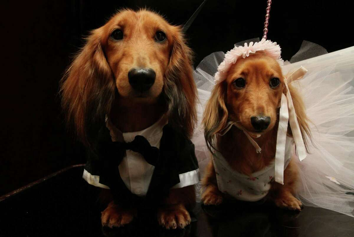 Dachshunds dressed for the occasion, Clifford, left, and his cousin Dee Dee, wait to take part in the most expensive wedding for pets Thursday July 12, 2012 in New York. The black-tie fundraiser, where two dogs were