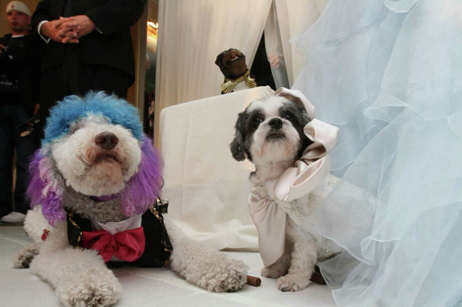 "Chilly Pasternak, a poodle from Richmond, Virginia, left, and Baby Hope Diamond, a Coton de Tulear from New York, right, sit together after their ""wedding"" Thursday July 12, 2012 in New York. The black tie fundraiser, which was the most expensive wedding for pets, was held to benefit the Humane Society of New York. Photo: Tina Fineberg, AP / FR73987 AP"