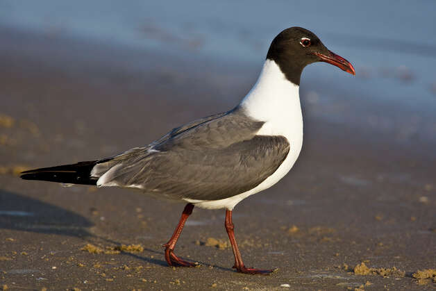 Laughing gulls are the predominant gull on Texas beaches in the summer. Photo: Kathy Adams Clark / Kathy Adams Clark/KAC Productions